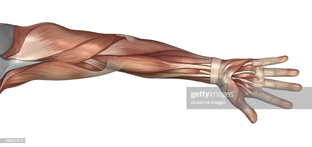 Muscle Anatomy Of The Human Arm Anterior View Stock Illustration