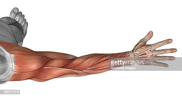 muscle anatomy of the human arm, posterior view. - forearm stock illustrations, clip art, cartoons, & icons