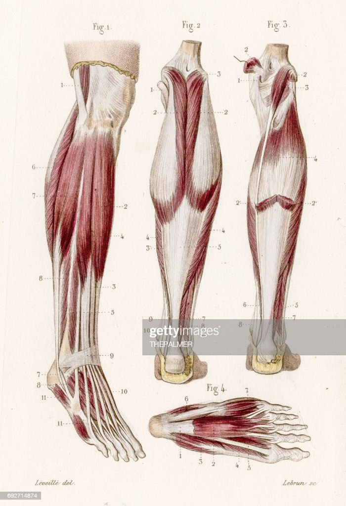 Muscle Leg And Foot Anatomy Engraving 1886 Stock Illustration ...