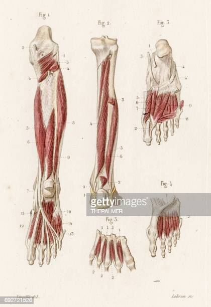 muscle leg and foot anatomy engraving 1886 - achilles tendon stock illustrations