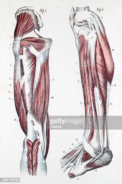 muscles and cartilage on human feet - anatomical model stock illustrations, clip art, cartoons, & icons