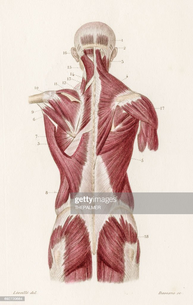 Muscles Back Anatomy Engraving 1886 Stock Illustration | Getty Images