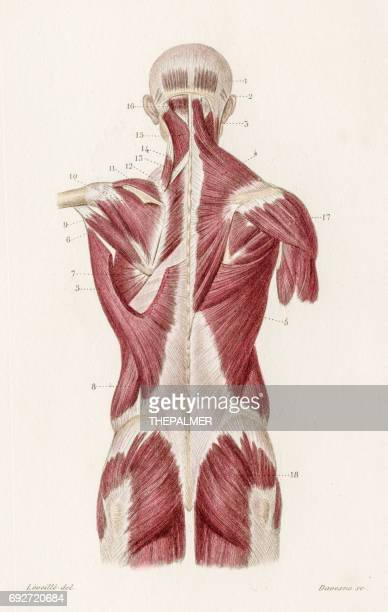 Muscles back anatomy engraving 1886