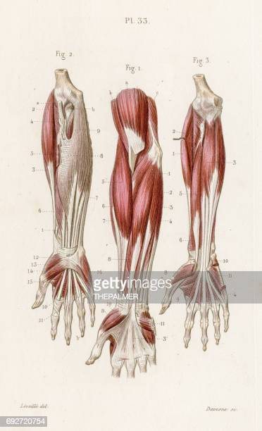 muscles forearm anatomy engraving 1886 - forearm stock illustrations, clip art, cartoons, & icons