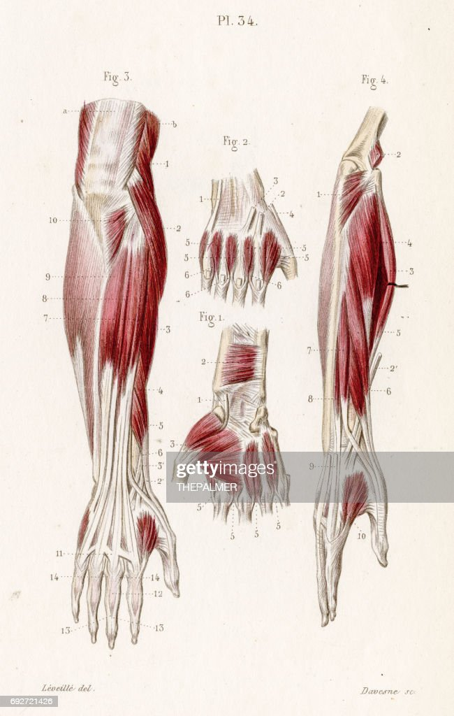 Muscles Forearm Anatomy Engraving 1886 Stock Illustration | Getty Images