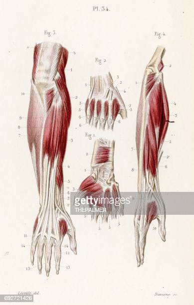 Muscles forearm anatomy engraving 1886