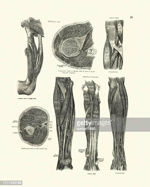 ilustraciones, imágenes clip art, dibujos animados e iconos de stock de músculos del brazo, articulación del codo, antebrazo, dibujo anatómico victoriano - miembro parte del cuerpo