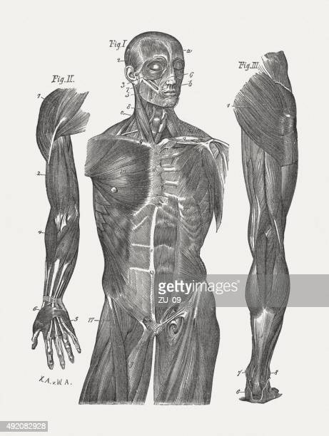 Muscles of man, published in 1884