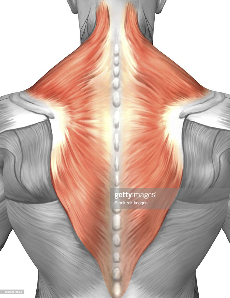Muscles Of The Back And Neck Stock Illustration | Getty Images