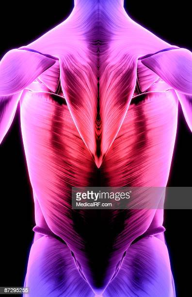 muscles of the back - infraspinatus stock illustrations, clip art, cartoons, & icons