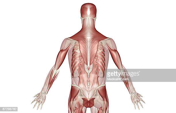 muscles of the back - human back stock illustrations, clip art, cartoons, & icons