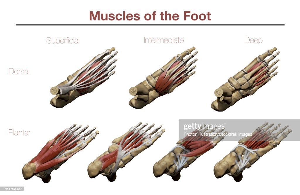 Muscles Of The Foot Stock Illustration Getty Images
