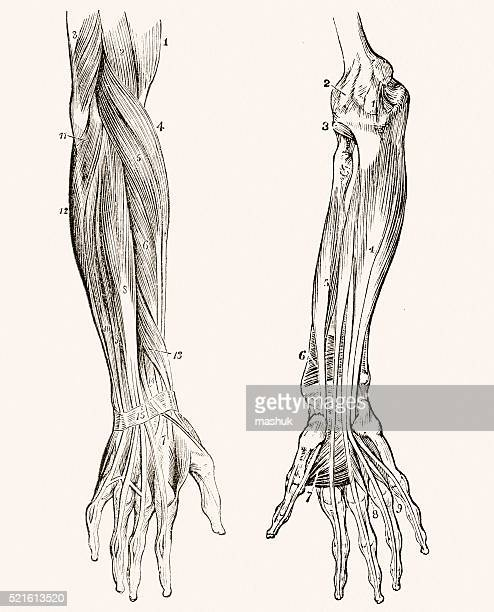 muscles of the forearm 19 century medical illustration - anatomical model stock illustrations, clip art, cartoons, & icons