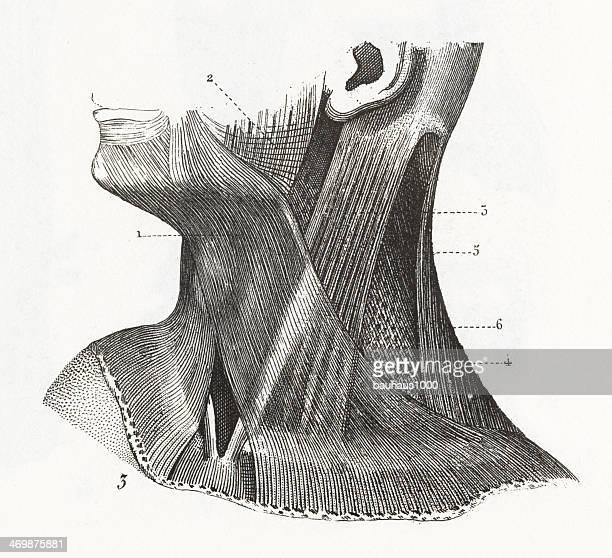 ilustraciones, imágenes clip art, dibujos animados e iconos de stock de músculos del cuello - músculo humano