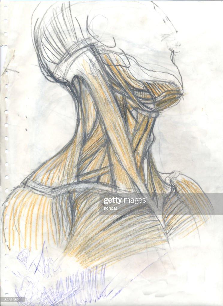 Muskulatur Des Halses Stock-Illustration | Getty Images