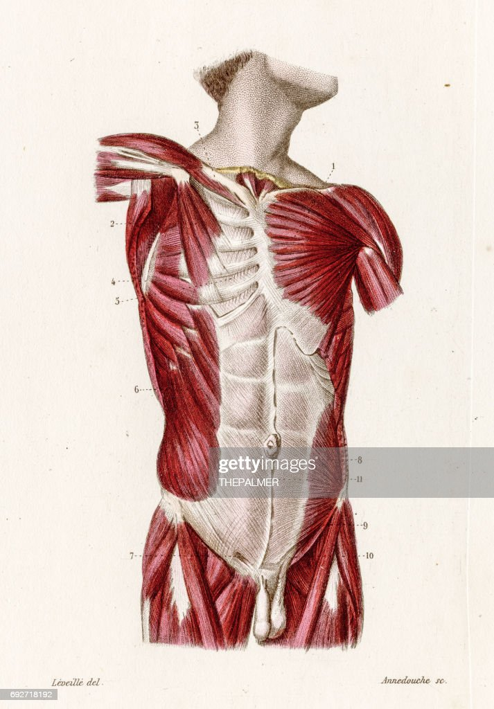 Muscles Of The Torso Anatomy Engraving 1886 Stock Illustration