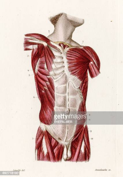 Muscles of the torso anatomy engraving 1886
