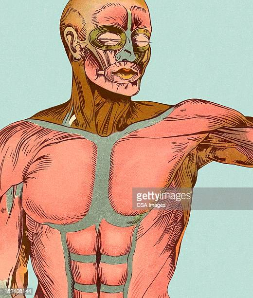 muscles of the upper body - chest torso stock illustrations, clip art, cartoons, & icons