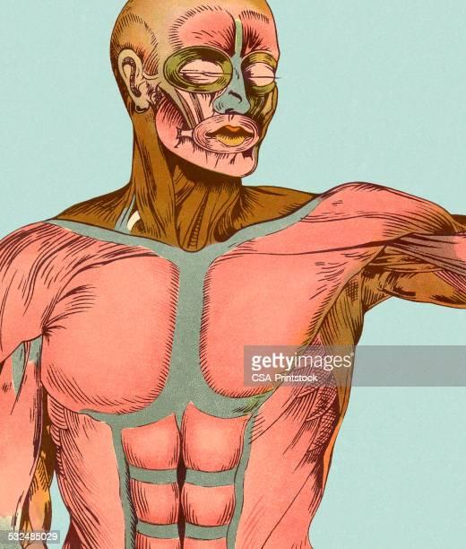 ilustraciones, imágenes clip art, dibujos animados e iconos de stock de músculos de la parte superior del cuerpo - músculo humano