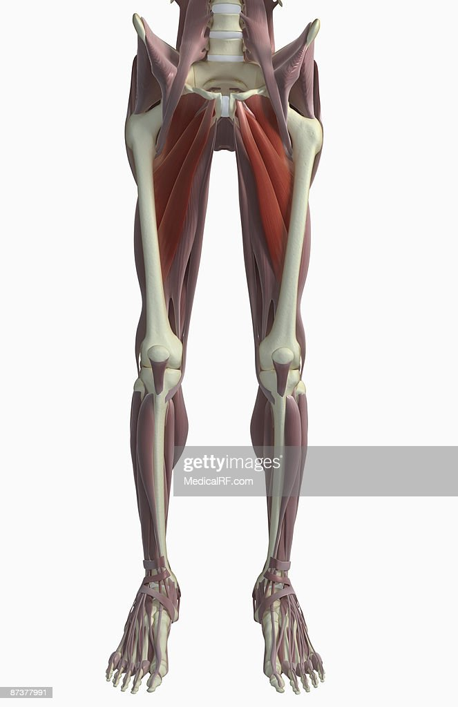 Muscles Of The Upper Leg Stock Illustration Getty Images