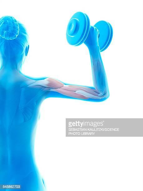 ilustraciones, imágenes clip art, dibujos animados e iconos de stock de muscles of weight lifter, illustration - entrenamiento de fuerza