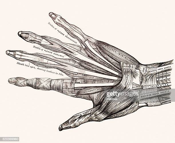 Muscles on left hand 19th century anatomy image