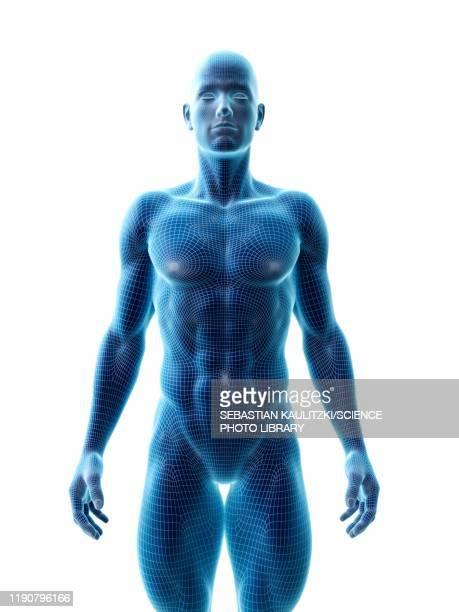 muscular man, illustration - the human body stock illustrations
