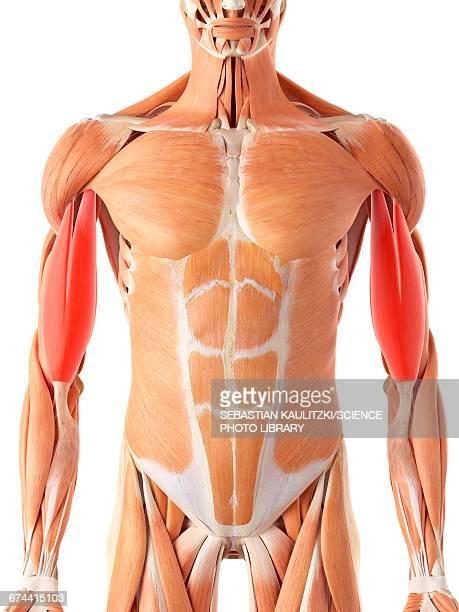 muscular system - bicep stock illustrations, clip art, cartoons, & icons