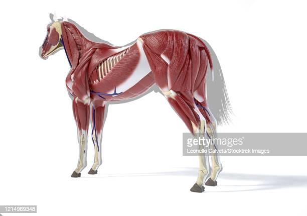 muscular system of a horse, side perspective on white background. - gliedmaßen körperteile stock-grafiken, -clipart, -cartoons und -symbole