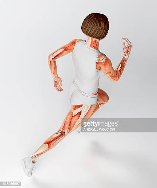 muscular system of runner, artwork - female likeness stock illustrations