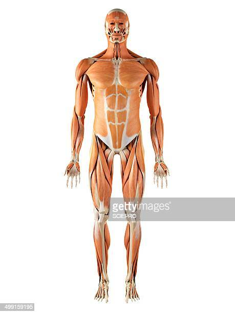 musculoskeletal system, artwork - the human body stock illustrations, clip art, cartoons, & icons
