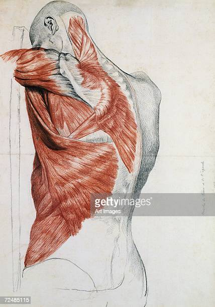 Human Anatomy; Muscles of the Torso and Shoulder