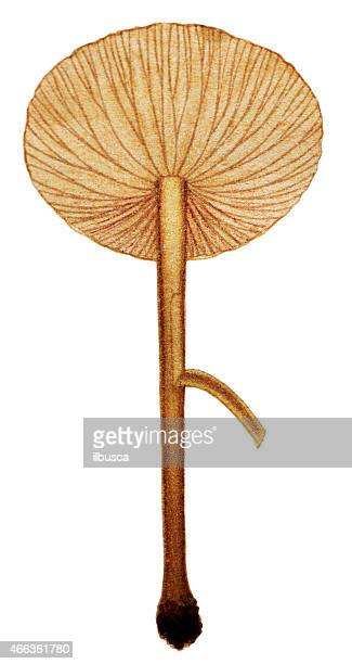 mushrooms and fungi: marasmius oreades (scotch bonnet, fairy ring mushroom) - scotch whiskey stock illustrations, clip art, cartoons, & icons