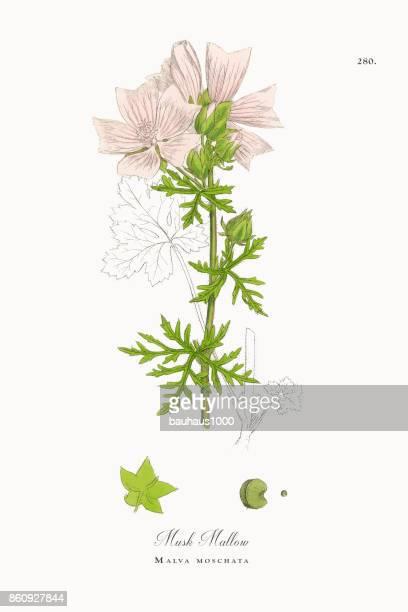 musk mallow, malva moschata, victorian botanical illustration, 1863 - plant bulb stock illustrations, clip art, cartoons, & icons