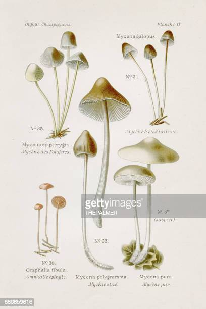 Mycena mushroom 1891