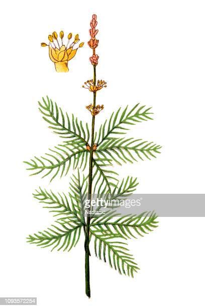 myriophyllum spicatum (eurasian watermilfoil or spiked water-milfoil) - eurasia stock illustrations