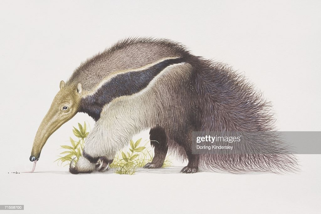 Myrmecophaga tridactyla, Giant Anteater, side view. : stock illustration