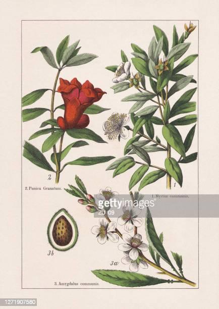 myrtaceae, lythraceae, rosaceae, chromolithograph, published in 1895 - ornamental plant stock illustrations