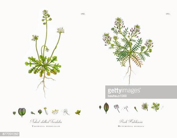 naked-stalked teesdalia, teesdalia nudicaulis, victorian botanical illustration, 1863 - northumberland stock illustrations, clip art, cartoons, & icons