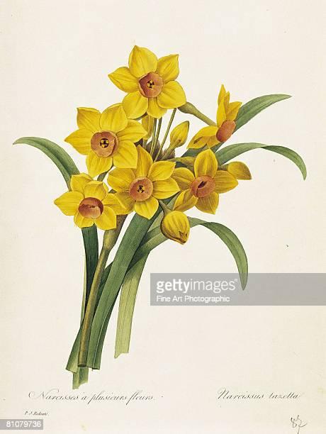 narcisses a plusieurs fleurs - botany stock illustrations