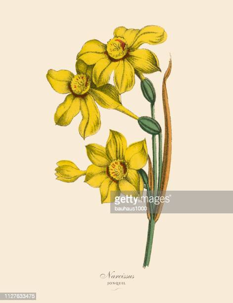 narcissus or jonquil plants, victorian botanical illustration - daffodil stock illustrations