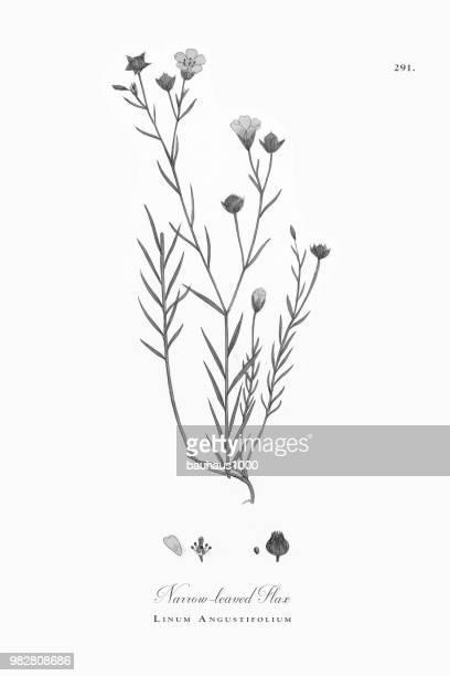 狭い leaved 亜麻、アマのり面、ビクトリア朝の植物イラスト、1863 - 精油点のイラスト素材/クリップアート素材/マンガ素材/アイコン素材