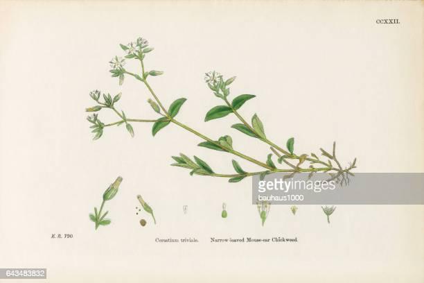 ilustrações, clipart, desenhos animados e ícones de estreito-com folhas mouse – orelha chickweed, cerastium triviale, ilustração botânica vitoriana, 1863 - chickweed