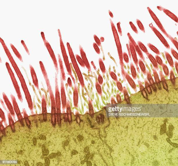 nasal lining, transmission electron micrograph - cilium stock illustrations