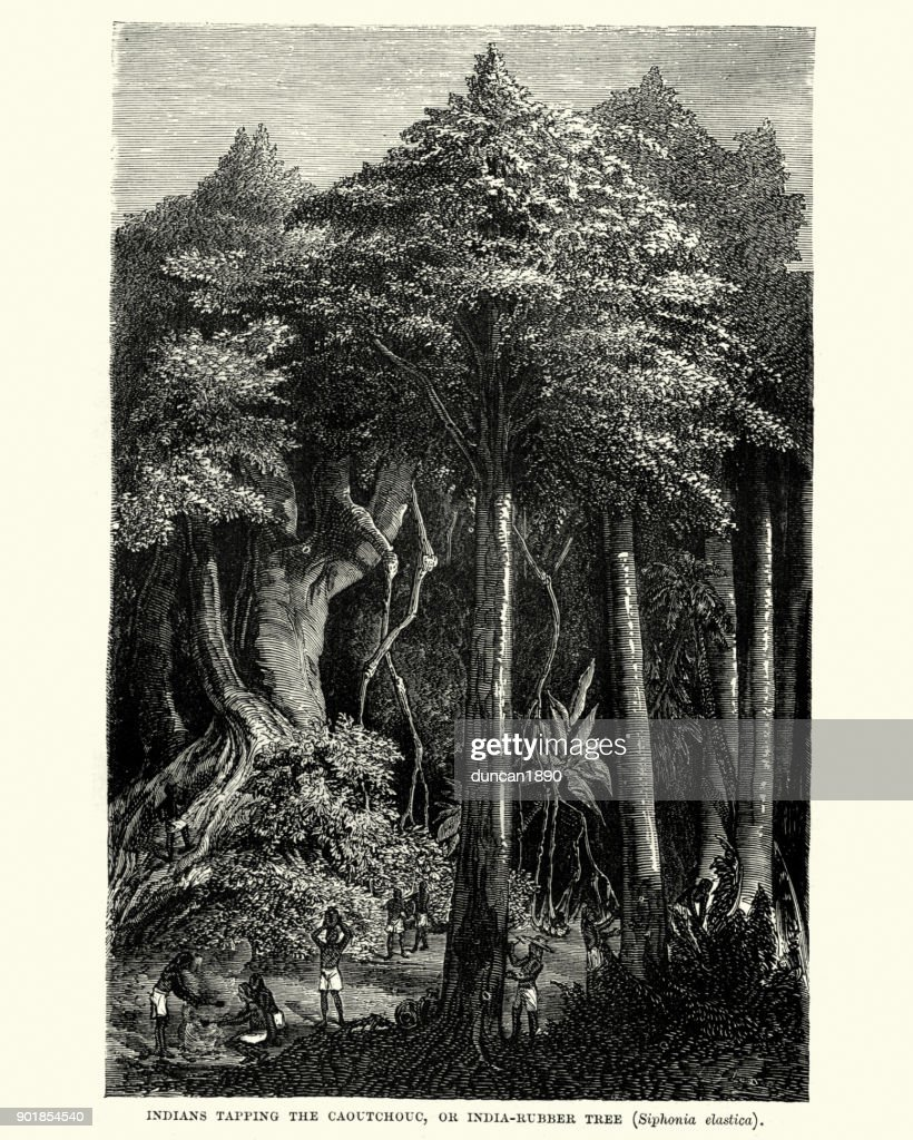Natives tapping the caoutchouc or india rubber tree, 19th Century : stock illustration