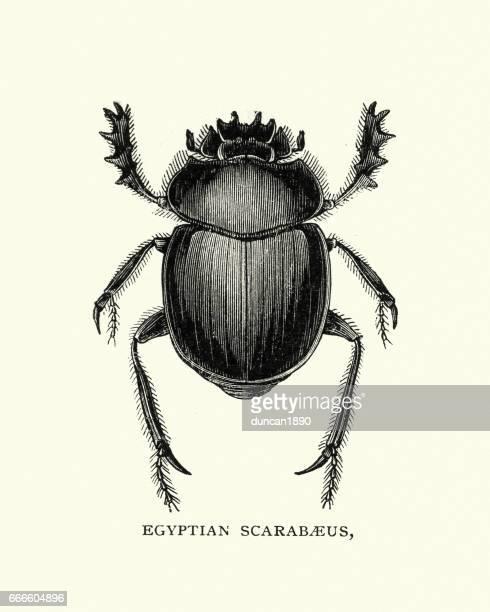 Natural history - Beetles - Egyptian Scarabaeus