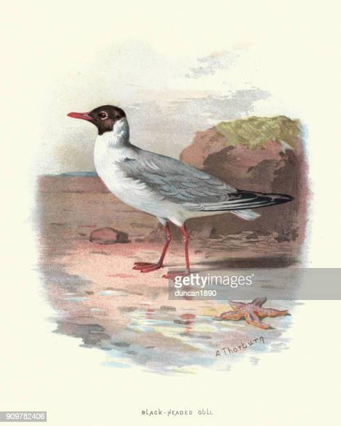 natural history - birds - black headed gull - sea water bird stock illustrations