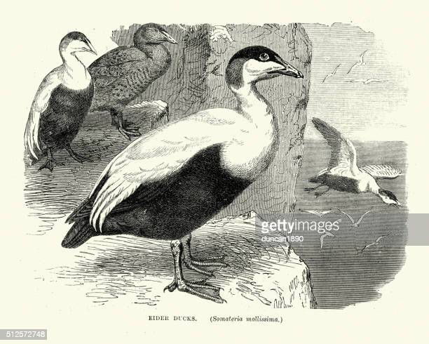 Natural History Birds - Common eider