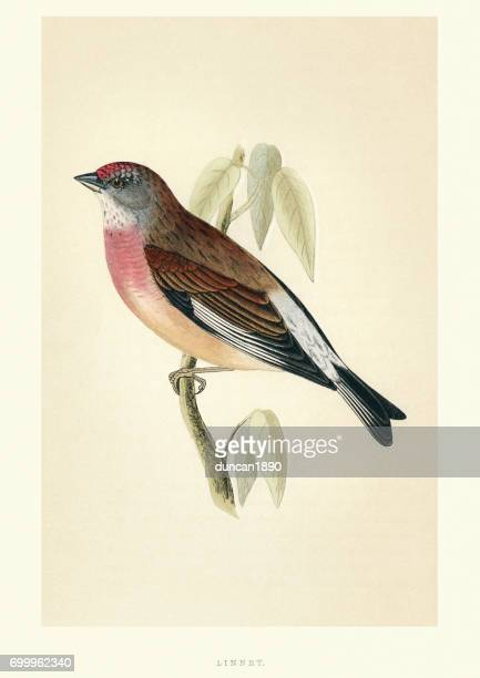 natural history - birds - common linnet - archival stock illustrations