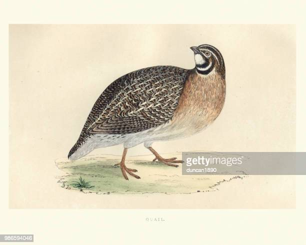 natural history, birds, common quail (coturnix coturnix) - quail bird stock illustrations, clip art, cartoons, & icons